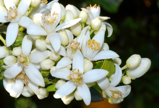 orange blossoms.jpg